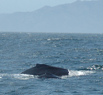 Motherwhalewithcalf_1510_2