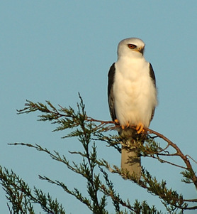 Blackshoulderedkitesit_9499_1