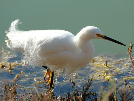 Egret_breeding_plumage_9119